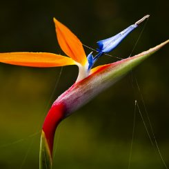 Bird of Paradise-Canvas-Front